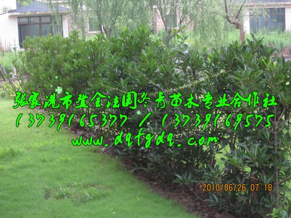 别墅区种植的法国冬青绿篱(珊瑚树绿篱)